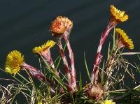 Tussilago farfara flos – Coltsfoot flower – Herb for February 2015