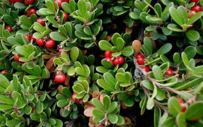 Bearberry – Arctostaphylos uva-ursi