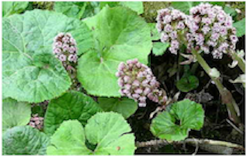 Petasites vulgaris – Butterbur –  Herb of the month for August 2016
