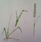Couch Grass Drawing by Herbyjayne
