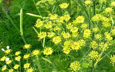 Foeniculum vulgare – Fennel – Herb of the Month for September 2015