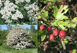 Crataegus oxyacanthoides – Hawthorn – Herb of the month for May 2015