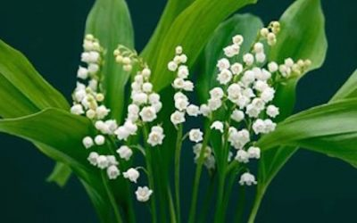 Convallaria majalis – Lily of the Valley – Herb of the Month for May 2016