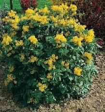 Mahonia aquifolium – Herb for January 2015