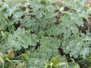 Silybum marianum – Milk Thistle – Herb for September 2016