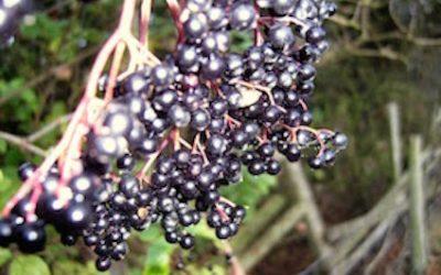Sambucus nigra – Elder – Herb of the month for October 2015