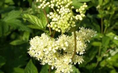 Filipendula ulmaria – Meadowsweet –  Herb of the Month for June 2015