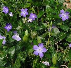 Vinca major and Vinca minor Periwinkle (Greater and Lesser)  Herb of the month for January 2016