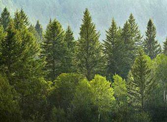 Pine Tree – Pinus spp.