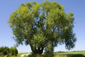 Willow – Salix spp.